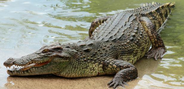 krokodyl.jpg