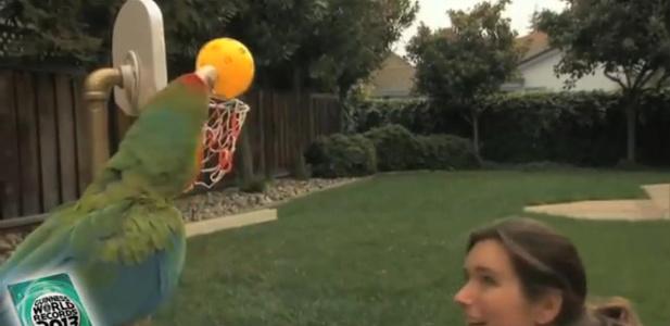 grająca w kosza papuga