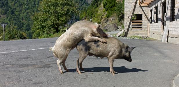pig sex .jpg