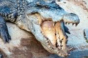 Krokodyle na wolności