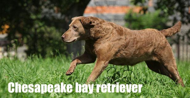 Chesapeake-bay-retriever.jpg