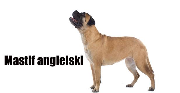Mastif-angielski.jpg