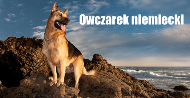 Owczarek-niemiecki.jpg