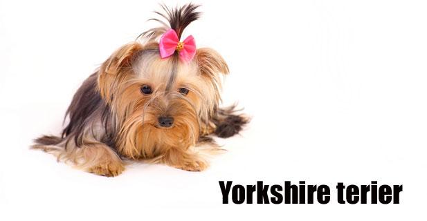 Yorkshire-terier.jpg