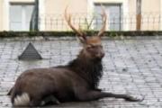 Jeleń na dachu