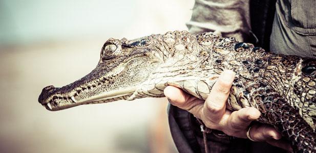 aligator za piwo