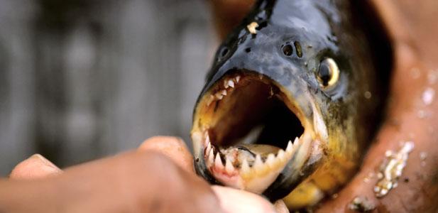 drapieżna ryba