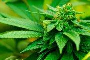 2 mln dolarów z podatku od ... marihuany!