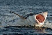 Dla foty z wielorybem, wskoczył do wody z rekinami