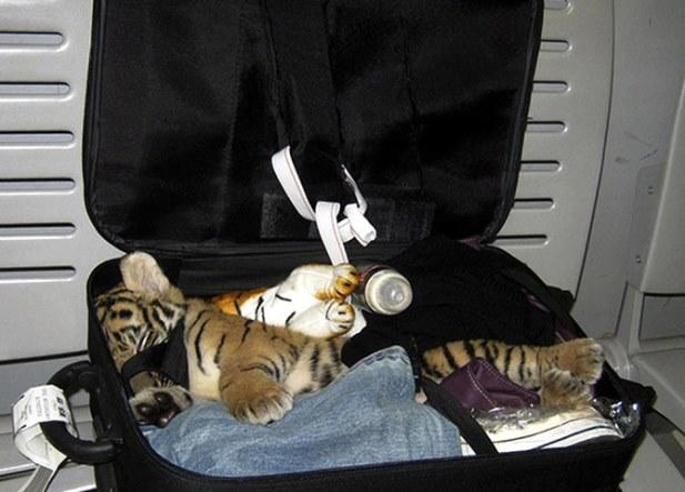A-baby-tiger-cub--005.jpg