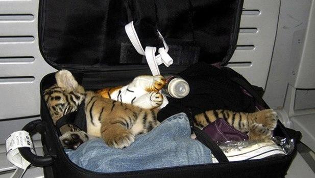 A-baby-tiger-cub--005wfewf.jpg