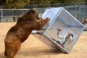 Niedźwiedź, Japonka i szklane pudło