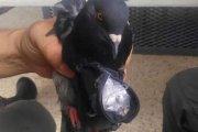 Gołąb-dealer za kratami