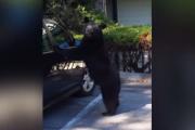 O niedźwiedziu, który chciał jeździć samochodem