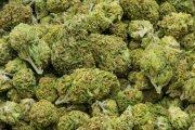 Kolorado zarabia więcej na marihuanie niż na alkoholu