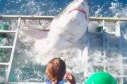 Rekin w klatce dla nurków