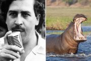 Kolumbia nie radzi sobie z hipopotamami, które zostały po Pablo Escobarze