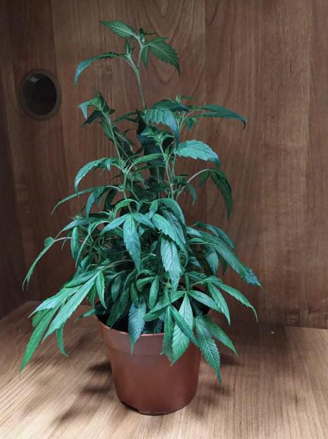 gf-1a5P-UfLy-szMy_bialystok-syn-usmazyl-matce-nalesniki-z-marihuana-664x0-nocrop.jpg