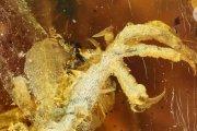 Nowy gatunek dinozaura! Szczątki zatopione w bursztynie