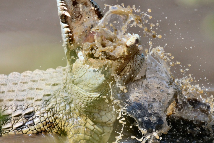 karma krokodyla.jpg