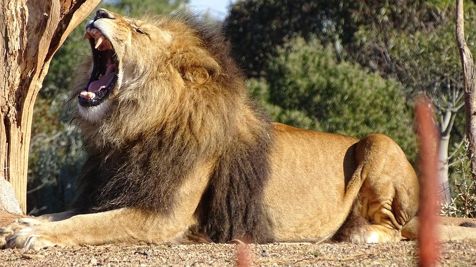 lion-2635913_960_720.jpg