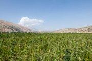 Kolejne państwo legalizuje uprawę marihuany. W ramach walki z kryzysem