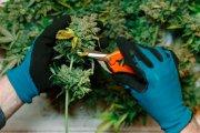 Gdy wszyscy upadają, branża marihuanowa kwitnie i zatrudnia