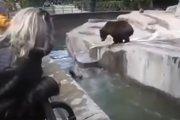 Pijany wskoczył na wybieg niedźwiedzi w warszawskim ZOO. Wywiązała się walka