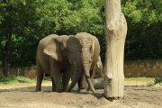 Warszawskie słonie dostaną olej z konopi na odstresowanie