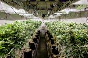 Spalacz marihuany poszukiwany