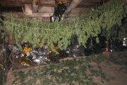 Dom pełen marihuany. Od piwnicy po strych