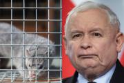 Prezes nie będzie zadowolony. Koronawirus zaatakował pierwsze norki w Polsce