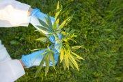 Marihuana już nie jest aż tak niebezpiecznym narkotykiem. ONZ przyjęło ustawę