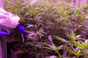 Marihuana jako atrakcja turystyczna w Polsce. Powstaje projekt miejskiego ogródka konopnego