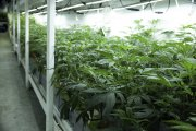 Praca na plantacji marihuany? W Łodzi powstaje zakład i potrzebuje pracowników