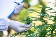 Legalizacja marihuany w Polsce. Szczegóły projektu