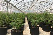 Jak wygląda propozycja projektu legalizacji marihuany? Ostateczne postulaty