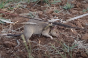 Szczur–saper przechodzi na emeryturę. Pracowałlepiej niż niejeden człowiek