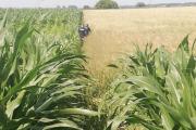 Uciekł nago w pole kukurydzy. Myślał, że będzie niewidzialny